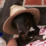 Miniatur Bullterrier mit Hut