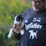 Miniatur Bullterrier Dogfather