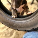 Miniatur Bullterrier Welpen spielen