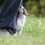 Miniatur Bullterrier neugierig