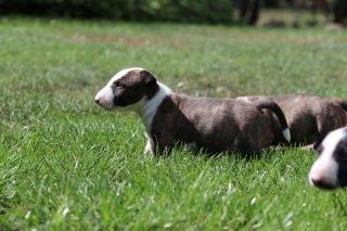 Miniatur Bullterrier Welpe 4