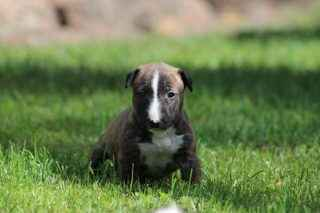 Miniatur Bullterrier Welpe 5