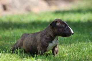 Miniatur Bullterrier Welpe 7