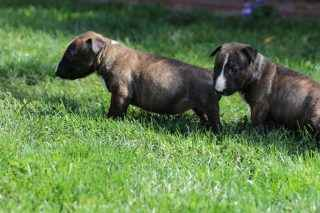 Miniatur Bullterrier Welpe 8
