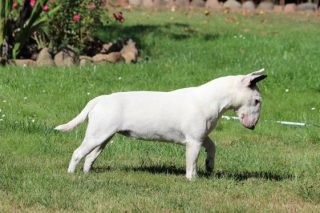 miniatur-bullterrier-e-wurf-mutter